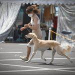 LAMIUELLE SHOW DOGS/SALUKI